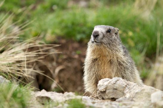 Présentation de la marmotte, la sentinelle de la montagne